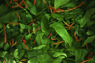 Spinat bei der Ernte kontrollieren
