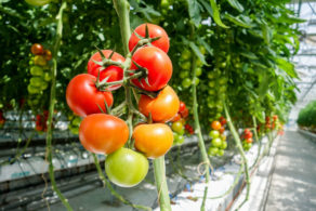Optical quality control for Tomato plants