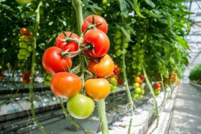 Optische Qualitätskontrolle Tomatenpflanzen