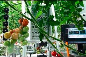 Erkennen von gestressten Stellen an Tomatenpflanzen