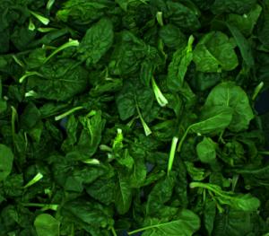 Optische Qualitätskontrolle Spinat